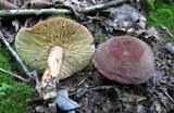 Lactifluus corrugis image