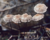 Gymnopus androsaceus image