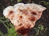 Lamelloporus americanus image