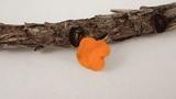 Pithya vulgaris image