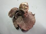 Gomphus ludovicianus image