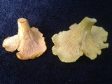 Cantharellus enelensis image