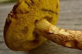 Boletus ferrugineus image