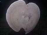 Hexagonia tenuis image