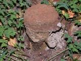 Pisolithus arrhizus image