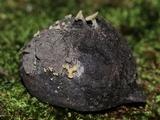 Hymenoscyphus fructigenus image
