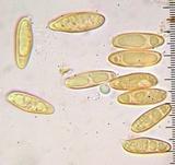 Chroogomphus tomentosus image