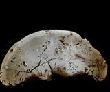 Ganoderma tuberculosum image