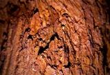 Echinodontium tinctorium image