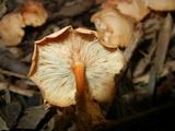Syzygospora mycetophila image