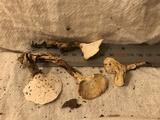 Albatrellus ovinus image
