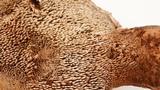 Sarcodon rimosus image