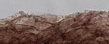 Mycena subcana image