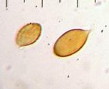 Cortinarius calyptratus image