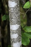 Arthonia punctiformis image
