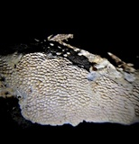 Megasporoporia setulosa image