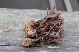 Thelephora anthocephala image