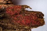 Patinellaria sanguinea image