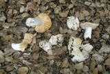 Russula basifurcata image