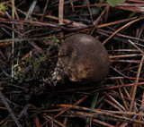 Lycoperdon umbrinum image