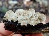 Entoloma parasiticum image