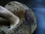 Porphyrellus sordidus image