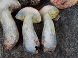 Pulchroboletus rubricitrinus image