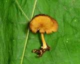 Callistosporium luteo-olivaceum image