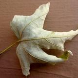 Rhytisma americanum image
