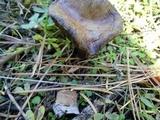 Suillus reticulatus image