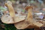 Cortinarius allutus image