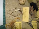 Chlamydopus meyenianus image