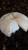 Amanita daucipes image