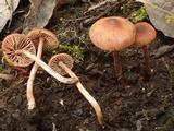 Naucoria salicis image