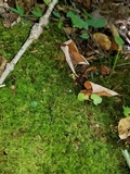 Ophiocordyceps superficialis image