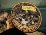 Tricholoma griseoviolaceum image