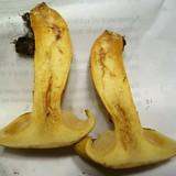 Gymnopilus spectabilis image