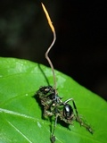 Ophiocordyceps kniphofioides image
