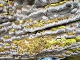 Inonotus glomeratus image