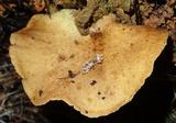 Boletinellus exiguus image