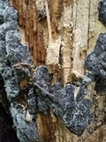 Biscogniauxia atropunctata image