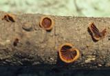 Anthracophyllum lateritium image
