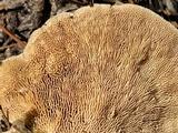 Trametes gibbosa image