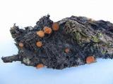 Scutellinia olivascens image