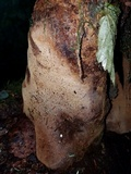 Fomitiporia tsugina image