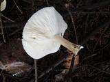 Melanoleuca nivea image