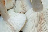 Lactarius blennius image