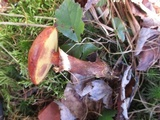 Suillus grevillei image