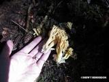 Ramaria gelatinosa var. oregonensis image