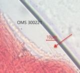 Mycena olivaceomarginata image